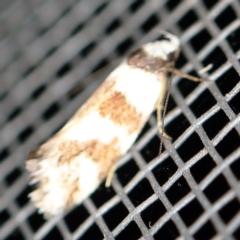 Isomoralla geophyrota at O'Connor, ACT - 16 Feb 2021