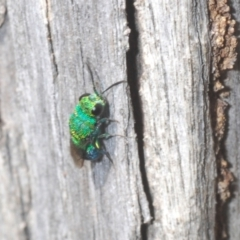 Chrysididae sp. (family) (Unidentified cuckoo wasp) at Rugosa at Yass River - 14 Feb 2021 by Harrisi