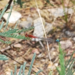 Xanthagrion erythroneurum (Red & Blue Damsel) at Rugosa at Yass River - 14 Feb 2021 by Harrisi