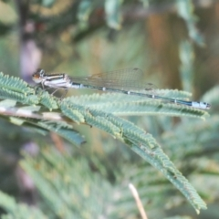 Austroagrion watsoni (Eastern Billabongfly) at Rugosa at Yass River - 14 Feb 2021 by Harrisi