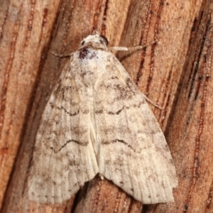 Calathusa sp nr dispila at Melba, ACT - 16 Feb 2021