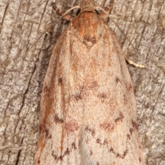 Heliocausta undescribed species (A concealer moth) at Melba, ACT - 16 Feb 2021 by kasiaaus
