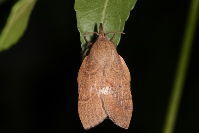 Pararguda nasuta at Melba, ACT - 16 Feb 2021