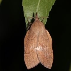 Pararguda nasuta (Wattle Snout Moth) at Melba, ACT - 16 Feb 2021 by kasiaaus