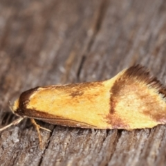 Isomoralla pyrrhoptera (A concealer moth) at Melba, ACT - 16 Feb 2021 by kasiaaus