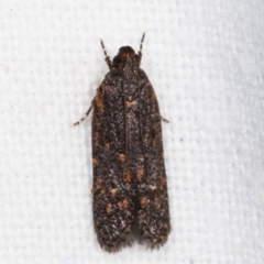 Ardozyga (genus) (Twirler moth, gelechiid moth) at Melba, ACT - 16 Feb 2021 by kasiaaus