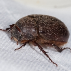 Unidentified Scarab beetle (Scarabaeidae) (TBC) at Melba, ACT - 16 Feb 2021 by kasiaaus