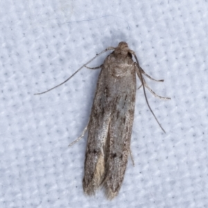 Blastobasis (genus) at Melba, ACT - 16 Feb 2021