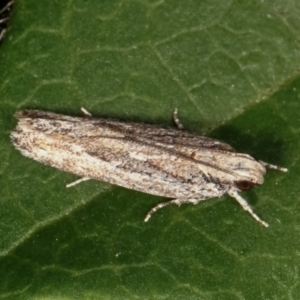 Ardozyga (genus) at Melba, ACT - 16 Feb 2021