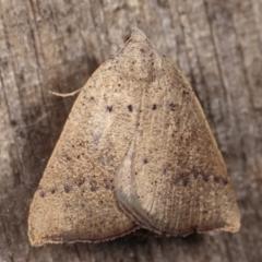 Amelora undescribed species at Melba, ACT - 17 Feb 2021