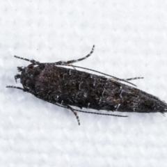 Trachydora capnopa (A Cosmet moth) at Melba, ACT - 16 Feb 2021 by kasiaaus