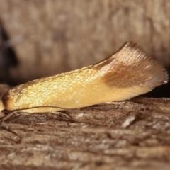 Phauloplana illuta (A concealer moth) at Melba, ACT - 16 Feb 2021 by kasiaaus