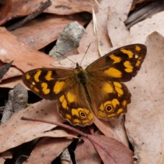 Heteronympha solandri (Solander's Brown) at Cotter River, ACT - 3 Feb 2021 by DPRees125