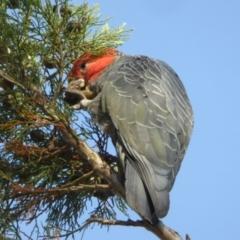 Callocephalon fimbriatum (Gang-gang Cockatoo) at Katoomba Park, Campbell - 12 Jan 2021 by MargD
