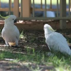 Cacatua galerita (Sulphur-Crested Cockatoo) at Albury - 16 Feb 2021 by PaulF