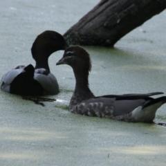 Chenonetta jubata (Australian Wood Duck) at Albury - 16 Feb 2021 by PaulF