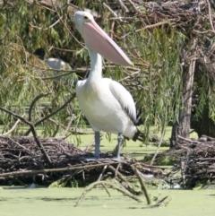 Pelecanus conspicillatus (Australian Pelican) at Albury - 16 Feb 2021 by PaulF