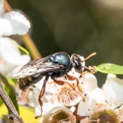 Crabroninae sp. (subfamily) (Unidentified solitary wasp) at ANBG - 14 Feb 2021 by Roger