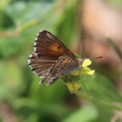 Lucia limbaria (Chequered Copper) at Red Hill Nature Reserve - 18 Feb 2021 by LisaH