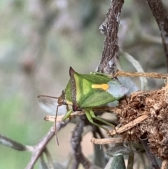 Cuspicona thoracica (Shield bug) at Murrumbateman, NSW - 18 Feb 2021 by SimoneC