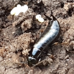 Anisolabididae (family) (Unidentified wingless earwig) at Holt, ACT - 18 Feb 2021 by tpreston