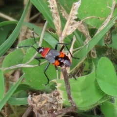 Dindymus versicolor (Harlequin Bug) at Paddys River, ACT - 17 Feb 2021 by RodDeb