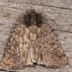 Proteuxoa (genus) (A Noctuid moth) at Melba, ACT - 16 Feb 2021 by kasiaaus