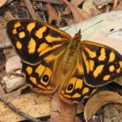 Heteronympha paradelpha (Spotted Brown) at ANBG - 17 Feb 2021 by HelenCross