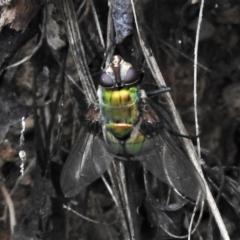 Rutilia (Rutilia) sp. (genus & subgenus) (Bristle fly) at Namadgi National Park - 18 Feb 2021 by JohnBundock