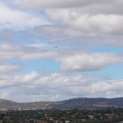 Aquila audax (Wedge-tailed Eagle) at Percival Hill - 17 Feb 2021 by Kym