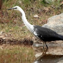 Ardea pacifica (White-necked Heron) at Crooked Corner, NSW - 18 Feb 2021 by Milly