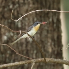 Myiagra rubecula (Leaden Flycatcher) at Cotter Reserve - 17 Feb 2021 by RodDeb