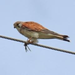 Falco cenchroides (Nankeen Kestrel) at Cotter Reserve - 17 Feb 2021 by RodDeb