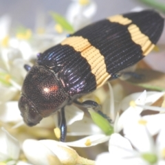 Castiarina vicina (Vicina jewel beetle) at Larbert, NSW - 15 Feb 2021 by Harrisi