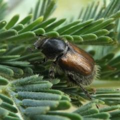 Automolius sp. (genus) (Scarab or Chafer beetle) at Jacka, ACT - 19 Dec 2020 by HarveyPerkins