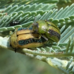 Calomela bartoni (Acacia Leaf Beetle) at Jacka, ACT - 19 Dec 2020 by HarveyPerkins