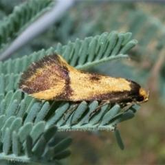 Isomoralla pyrrhoptera (A concealer moth) at Jacka, ACT - 19 Dec 2020 by HarveyPerkins