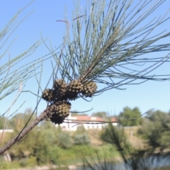 Casuarina cunninghamiana subsp. cunninghamiana (River She-oak, River Oak) at Cotter Reserve - 20 Jan 2021 by michaelb