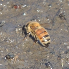 Apis mellifera (European honey bee) at Cotter Reserve - 20 Jan 2021 by michaelb