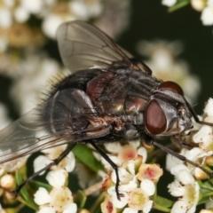 Rutilia sp. (genus) (A Rutilia bristle fly, subgenus unknown) at Dunlop, ACT - 17 Feb 2021 by kasiaaus
