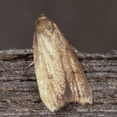 Oecophoridae (family) (Unidentified Oecophorid concealer moth) at Melba, ACT - 17 Feb 2021 by kasiaaus