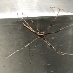 Deinopis subrufa (Rufous net casting spider) at Lyneham, ACT - 19 Feb 2021 by MattFox
