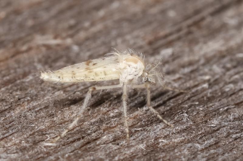 Nematocera sp. (suborder) at Melba, ACT - 18 Feb 2021