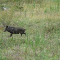Sus scrofa (Feral Pig) at Paddys River, ACT - 18 Feb 2021 by SandraH