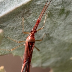 Rayieria acaciae (Acacia-spotting bug) at Umbagong District Park - 18 Feb 2021 by Roger