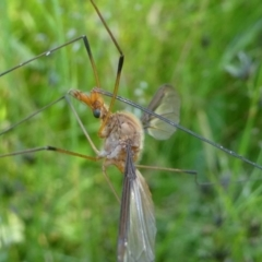 Leptotarsus (Macromastix) costalis (Common Brown Crane Fly) at Jacka, ACT - 17 Nov 2020 by HarveyPerkins