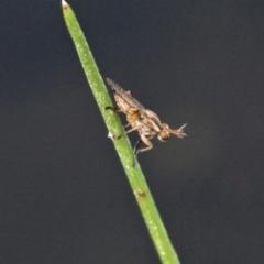 Dichetophora sp. (genus) (Marsh fly) at Jacka, ACT - 18 Oct 2020 by HarveyPerkins