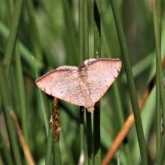 Chrysolarentia mecynata (Mecynata Carpet Moth) at Jacka, ACT - 18 Oct 2020 by HarveyPerkins