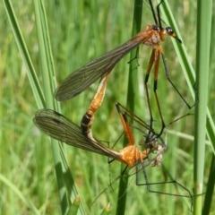 Harpobittacus australis (Hangingfly) at Jacka, ACT - 18 Oct 2020 by HarveyPerkins
