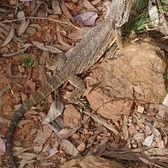 Pogona barbata (Eastern Bearded Dragon) at Red Hill Nature Reserve - 18 Feb 2021 by lrosser
